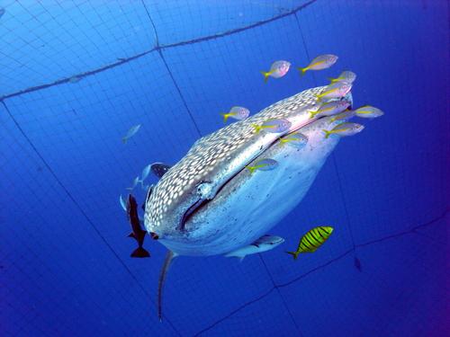 top-whaleshark.jpg